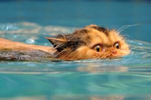 swimming-cat
